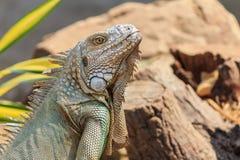 Zakończenie zielona iguana (iguany iguana) Fotografia Stock