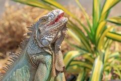 Zakończenie zielona iguana (iguany iguana) Obrazy Royalty Free