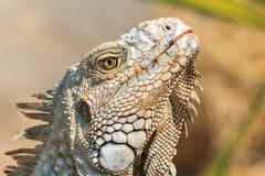 Zakończenie zielona iguana (iguany iguana) Zdjęcie Stock