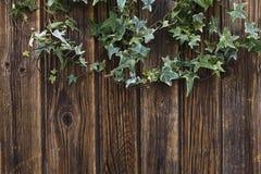 Zakończenie zielony bluszcz kapuje na rocznika drewnianym tle Obrazy Stock