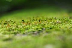 Zakończenie zielony mech Fotografia Stock