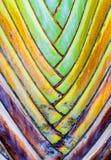 Zakończenia up - liść bazy na podróżnika palmie (Ravenala madagascari Fotografia Stock