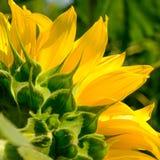 Zakończenie Piękny Jaskrawy słonecznik Lato kwiatu tło Fotografia Stock