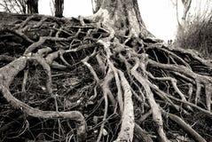 zakorzenia drzewa Zdjęcie Stock
