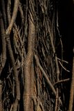 zakorzenia drzewa Ogromny drzewny bagażnik i ampuła wystawiający korzenie obraz stock