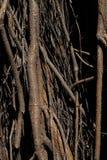 zakorzenia drzewa Ogromny drzewny bagażnik i ampuła wystawiający korzenie zdjęcie royalty free