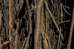 zakorzenia drzewa Ogromny drzewny bagażnik i ampuła wystawiający korzenie zdjęcia stock