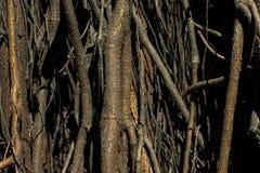 zakorzenia drzewa Ogromny drzewny bagażnik i ampuła wystawiający korzenie zdjęcia royalty free