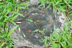 Zakorzenia na ziemi w ogródzie z zieloną trawą Zdjęcia Stock