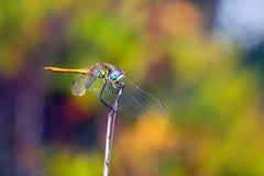 Zakotwiczający Dragonfly Zdjęcia Stock