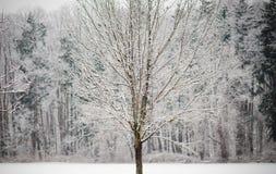 zakrywająca śnieżna drzewna zima Zdjęcie Stock