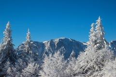 zakrywająca krajobrazowa halnej sosny śniegu świerczyny zima Zdjęcie Royalty Free