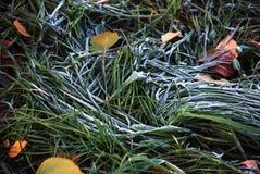 zakrywająca mrozowa trawy hoar liść mennica zdjęcia royalty free