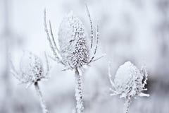 zakrywający śnieżny teasel Obrazy Royalty Free