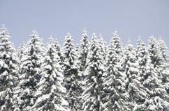 zakrywający świezi śniegu świerczyny drzewa obrazy royalty free