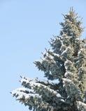 zakrywający futerka śniegu drzewo Fotografia Royalty Free
