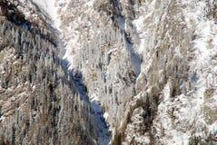 zakrywający jedlinowy lasu śniegu drzewo Obrazy Royalty Free