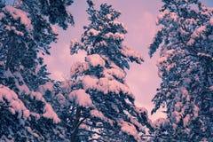 zakrywający jodły śniegu drzewa fotografia royalty free