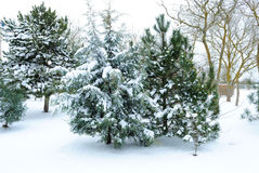 zakrywający jodły śniegu drzewo Zdjęcia Royalty Free