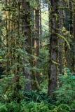 zakrywający Redwood las w Północnym Kalifornia Zdjęcie Stock