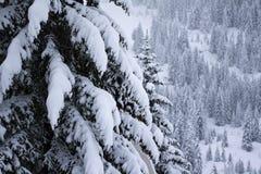 zakrywający sosny śniegu drzewa Zdjęcia Royalty Free