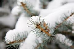 zakrywający sosny śniegu drzewo Obrazy Stock