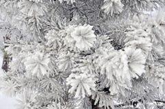zakrywający srebny śniegu świerczyny drzewo Obrazy Stock