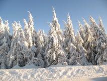 zakrywający wiecznozieloni śnieżni drzewa Zdjęcia Stock