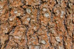Zakrywający z ośniedziałą liszaj barkentyną stary drzewo, tło, tekstura - wizerunek zdjęcia stock