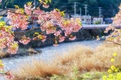 Zakura Kawazu Blossoming в srping Стоковая Фотография RF