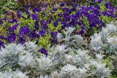 Zakurzony Miller i Purpurowy petunia kwiatów ogród Obraz Stock