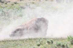 Zakurzony żubra bizonu wytchnienie Fotografia Royalty Free
