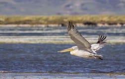 Zalatany Dalmatyński pelikan w locie Fotografia Stock