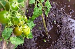 Zalewać tomatoe rośliny w polu Fotografia Royalty Free