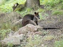 Zalewa Wallaby, jest jeden mali kangury, Wallabia bicolor, zdjęcie royalty free