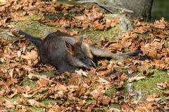 Zalewa Wallaby, jest jeden mali kangury, Wallabia bicolor, zdjęcia stock