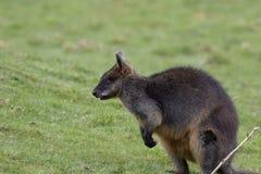 Zalewa wallaby, Wallabia bicolor, kierowniczy portrety podczas gdy karmiący na trawie w polu obraz royalty free