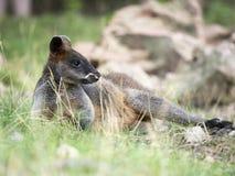 Zalewa Wallaby, Wallabia bicolor na gras zdjęcia royalty free