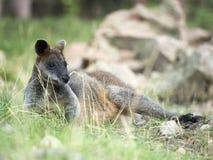 Zalewa Wallaby, Wallabia bicolor na gras zdjęcia stock
