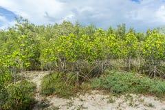 Zalewający drzewa w namorzynowej lasowej Phetchaburi prowinci Tajlandia Obrazy Stock