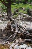 Zalewający drzewo korzenie zdjęcia royalty free