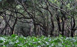 Zalewający las namorzynowi drzewa obrazy stock