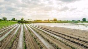Zalewający pole jako rezultat ulewnego deszczu Powódź na gospodarstwie rolnym Katastrofy naturalnej i uprawy straty ryzyko rolnic obrazy royalty free