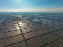 Zalewający ryżowi irlandczycy Agronomic metody rosnąć ryż w polach zdjęcia royalty free