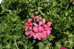 Zalm roze bloemen van klimop-leaved geranium stock fotografie