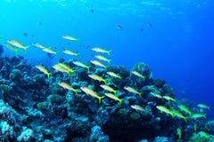 Zalmforel goatfishes stock fotografie