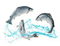 Zalmvissen die uit water springen stock afbeelding