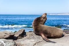Zalophus Californianus морсого льва Калифорнии в La Jolla Стоковая Фотография