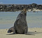 Zalophus californianus, California Sea Lion, Californische zeeleeuw stock images