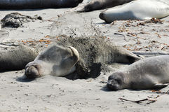 Zalophus Californianus. A California Sea Lion throwing sand on itself at Big Sur Stock Images